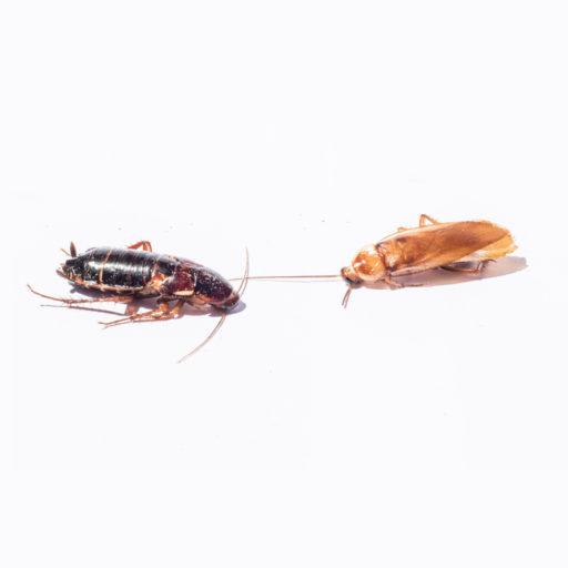 insectfarm-blatte