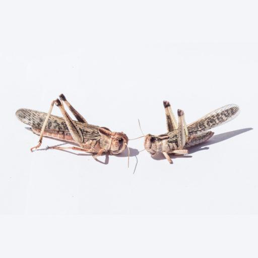 insectfarm-locuste-adulte