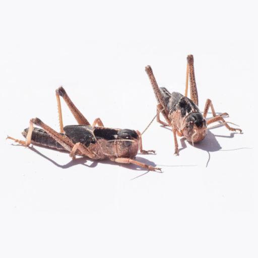 insectfarm-lucuste-piccole-medie